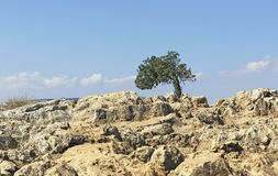 Lonely tree on Mount Arbel Royalty Free Stock Photo