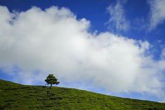 Lonely tree on the mountain at beautiful landscape of tea plantation with dramatic clound and blue sky Stock Photos