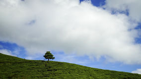 Lonely tree on the mountain at beautiful landscape of tea plantation with dramatic clound and blue sky Royalty Free Stock Image