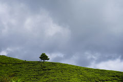 Lonely tree on the mountain at beautiful landscape of tea plantation with dramatic clound and blue sky Royalty Free Stock Photography