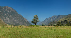 Lonely tree in mountains. Altai mountains Stock Image