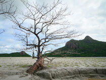 Lonely tree with mountains in Con Dao island, Vietnam Stock Images