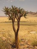 Lonely tree in namibian desert Royalty Free Stock Photography