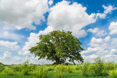 Lonely Tree in Natural Green Grass Field under Cloudy Blue Sky S. Ummertime as Beauty Nature Concept Royalty Free Stock Photos