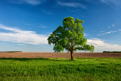 Lonely tree on near the arable land Stock Image