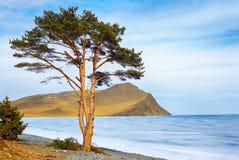 Lonely tree near Baikal lake Stock Images