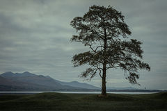 Lonely tree near a lake. Lonely tree in a golf course near Lough Leane,Killarney National Park,Kerry,Ireland Royalty Free Stock Photo