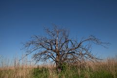 The lonely tree. Old and dried Apple tree in the neglected garden, the average strip of Russia.,space,abandoned garden Royalty Free Stock Photography