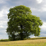 Lonely tree. Old oak on the hill Stock Photos