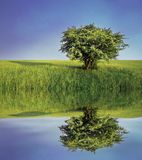 Lonely Tree On Meadow Royalty Free Stock Photography