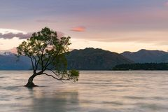 Lonely tree over Wanaka water lake with mountain background royalty free stock images