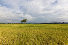 Lonely tree at paddy field with blue sky Stock Image