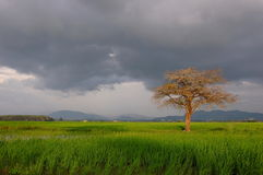 Lonely Tree in Paddy Fields Stock Photo