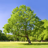 Lonely tree in the park. On a summer day Royalty Free Stock Photography