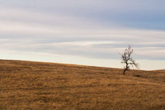 Lonely Tree in a Pasture. A bare tree stands alone in a field of brown grass Royalty Free Stock Photography