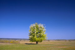 Lonely tree. Lonely pear-tree in the middle of the meadow. Ukraine spring Stock Image