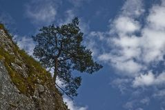 Lonely tree, pine on mountain and blue sky Royalty Free Stock Photo