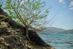 Lonely tree raised on the rock. The power of life Royalty Free Stock Photo