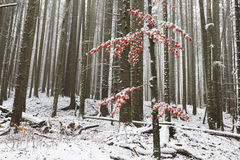 Lonely tree with red leaves covered in snow Royalty Free Stock Photos