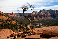 Lonely Tree and the Red Rocks. A bare tree overlooking the red rocks found in Sedona, Arizona royalty free stock photos