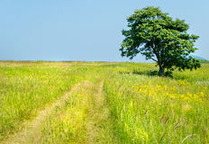 Lonely tree on the road of isle Putyatin Royalty Free Stock Photography