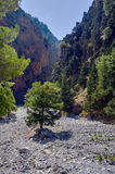 Lonely tree in a rocky riverbed in the gorge of Samaria Stock Images