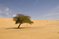 Lonely tree on Sahara Stock Photo