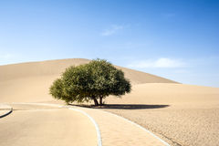 A lonely tree beside the sand dune Royalty Free Stock Photo