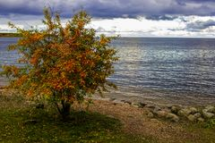 Lonely tree by the sea. Autumn multicolored yellow, red and green leaves. The clouds. The leaves fall down and lie on the sand Royalty Free Stock Photos