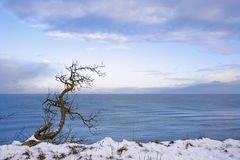 Lonely tree on seacoast in the winter. Coast of Baltic sea covered by a snow and a lonely tree Stock Image