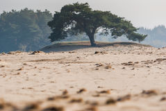 Lonely Tree in shifting sands area. Of National Park, Netherlands Royalty Free Stock Images