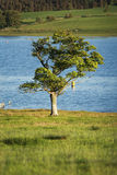 Lonely tree on the shore of a lake Royalty Free Stock Images