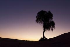 Lonely tree. Silhouette in Dubai desert, UAE Royalty Free Stock Photo