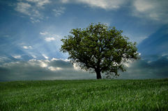 Lonely tree on sky  background Royalty Free Stock Images