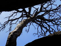 Lonely Tree in the Sky. Lonely Old Tree Between the Rocks Reaching up to Sky royalty free stock photo