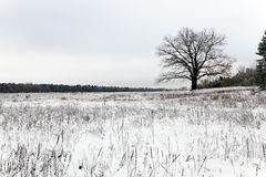 Lonely tree .  snow. A deciduous tree in winter. covered by snow Stock Photo