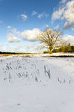 Lonely tree .  snow. A deciduous tree in winter. covered by snow Royalty Free Stock Image