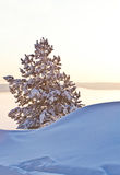 Lonely tree in snow drifts Stock Images