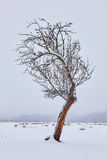 Lonely tree on snowy field Royalty Free Stock Photography