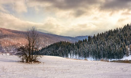 Lonely tree on snowy meadow in winter mountains. Composite landscape with lonely tree on a hill side meadow covered with snow near spruce forest in mountains Stock Photo