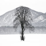 Lonely tree. In a snowy winter landscape Stock Image