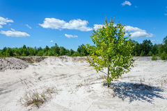 Lonely tree on a soil in erosion. Sulfur Mining, Environmental Damage Stock Photo