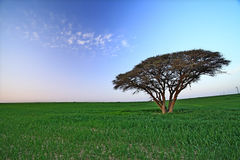 Lonely tree  in spring day Stock Photos