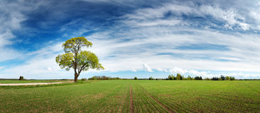 Lonely tree in spring on pature field Royalty Free Stock Images