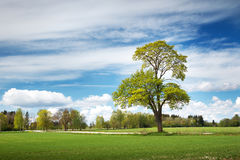 Lonely tree in spring on pature field Royalty Free Stock Image