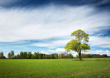 Lonely tree in spring on pature field Royalty Free Stock Photography