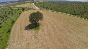 Lonely tree standing in agricultural field, Influence of people on environment. Stock footage stock footage