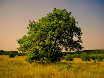 Lonely tree standing in a field Lykovo Stock Image