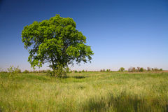 Lonely tree in the steppe Stock Photos
