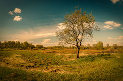 Lonely tree in summer field Royalty Free Stock Image